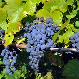 Image: Comte Vineyard